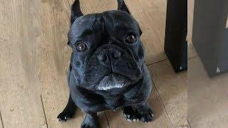 Funny And Cute French Bulldog | French bulldog Puppies | Funny dog videos try not to laugh #22