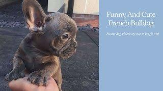 Funny And Cute French Bulldog   French bulldog Puppies   Funny dog videos try not to laugh #12