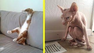 ORANGE CATS vs. NAKED CATS! Which cats are FUNNIER? - Super FUNNY CAT videos