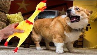 Funny Dog vs Shrilling Chicken Compilation ???? -  ???? vs ????