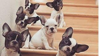 Funny And Cute French Bulldog   French bulldog Puppies   Funny dog videos try not to laugh #19