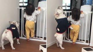 Funny And Cute French Bulldog   French bulldog Puppies   Funny dog videos try not to laugh #6
