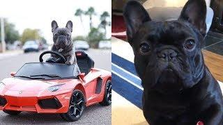 Baby Dogs ???? Cute Puppies ???? Funny and Cute French Bulldog compilation 2019 #2