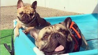 Cute Bulldog Doing Funny Things ???? Funny and Cute French Bulldog compilation 2019 #4