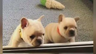 Cute is Not Enough & Cute bulldog puppies |  Funny DOG compilation #422