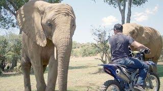 Elephants React to Dirtbikes