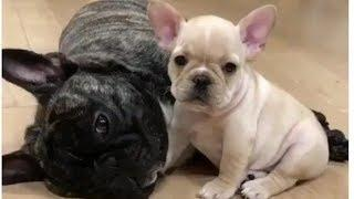 Funny and Cute French Bulldog compilation 2018 | Cute puppies doing funny things #11